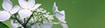 緑の中の紫陽花のバナー台
