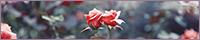 寄り添う薔薇のバナー台
