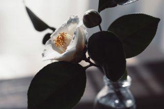 【高解像度】白い椿の一輪挿し(ツバキ)(3パターン)