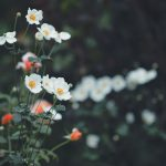 【高解像度】白い秋明菊(シュウメイギク)(3パターン)