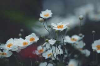 【高解像度】蕾を持つ秋明菊(シュウメイギク)(3パターン)