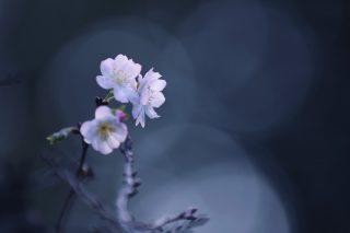 【高解像度】三輪の十月桜(ジュウガツザクラ)(3パターン)