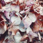【高解像度】冬の枯れ紫陽花(アジサイ)(6パターン)