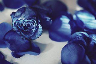 【高解像度】薄い日差しと青い薔薇(バラ)(3パターン)