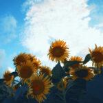 仰ぎ見る向日葵と空(3パターン)