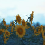 風に吹かれる向日葵(3パターン)